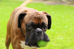 Boxer dog playing Stock Image