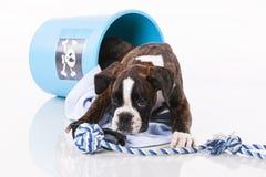 Boxer dog playing Stock Photo