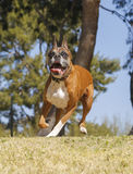 Boxer dog playing at the park Stock Photo