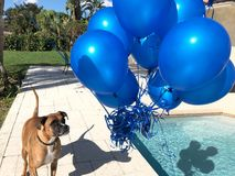 Happy big dog plays with a balloon Royalty Free Stock Photo