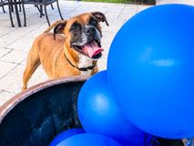happy big dog plays with a balloon Stock Image