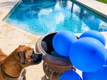 Happy big dog plays with a balloon. Boxer dog plays with a balloon on the ground stock images