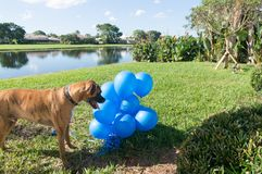 Happy big dog plays with a balloon Stock Photography