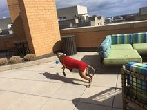 Boxer dog plays fetch - Side View. Boxer dog plays fetch stock photo