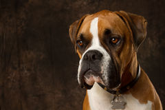 Boxer dog Portrait. On brown background royalty free stock images