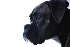 Boxer dog portrait. A portrait of a boxer dog Stock Photos
