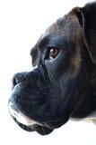 Boxer dog portrait. A portrait of a boxer dog Royalty Free Stock Images