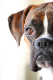 Boxer dog portrait. A portrait of a boxer dog Royalty Free Stock Photography