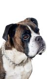 Boxer dog portrait Royalty Free Stock Image