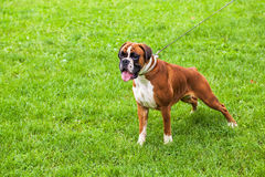 Boxer dog. Portrait of a Boxer dog royalty free stock image