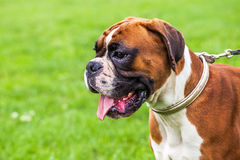 Boxer dog. Portrait of a Boxer dog royalty free stock images