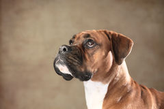 Boxer dog. Portrait of a Boxer dog stock images