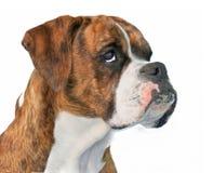 Boxer Dog Profile Royalty Free Stock Photography
