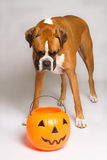 Boxer Dog in With Pumpkin. Boxer Dog looking at his treats in his pumpkin bucket stock photography