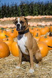 Boxer Dog in Pumpkin Patch. 1 Year old Male boxer sitting in a pumpkin patch stock photos