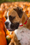 Boxer Dog in Pumpkin Patch. Boxer dog sitting in a pumpkin patch stock images