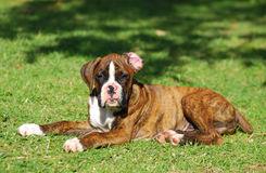 Boxer dog puppy. A cute purebred Boxer puppy dog lying in the sun outdoors Royalty Free Stock Photography