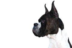 Boxer Dog Royalty Free Stock Photo