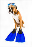 Boxer dog ready for action. Boxer dog wearing snorkel mask and fins Royalty Free Stock Images
