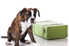 Boxer dog ready to travel Royalty Free Stock Images