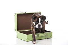 Boxer dog ready to travel Stock Photography