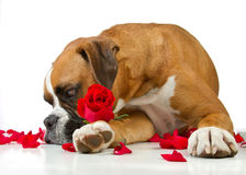Boxer Dog Red Rose. Boxer Dog with Red Rose and Rose Petals stock images
