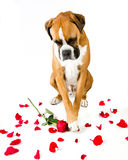 Boxer Dog Red Roses. Boxer Dog with Red Rose and Rose Petals Royalty Free Stock Images