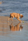 Boxer dog reflection in water Stock Photos