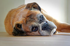Boxer dog resting. Photo of a senior boxer dog lying down resting on vinyl flooring at home. photo taken 19th sept 2015 royalty free stock photos