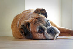 Boxer dog resting Royalty Free Stock Photos