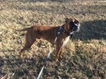Boxer dog in Rock creek park in winter Royalty Free Stock Photo