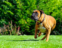Boxer dog running over grass. Brown Boxer dog running over green grass Royalty Free Stock Photo