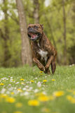 Boxer dog running. Portrait of a boxer running in the park Stock Images
