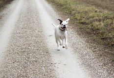 Boxer Dog Running on Road Royalty Free Stock Photography