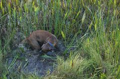 Boxer Dog running in swamp Stock Photography