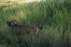 Boxer Dog running in swamp Royalty Free Stock Photos