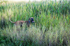 Boxer Dog running in swamp Royalty Free Stock Images