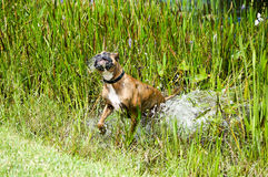 Boxer Dog running in swamp Stock Photo