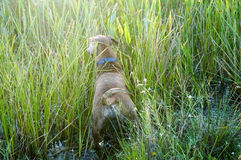Boxer Dog running in swamp Stock Images