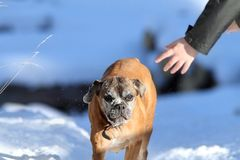 Boxer dog running towards human hand Stock Photography