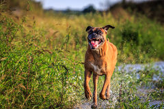 Boxer dog running in the water Stock Image