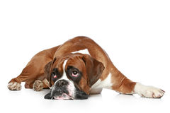 Boxer dog sad. Lying on a white background stock images