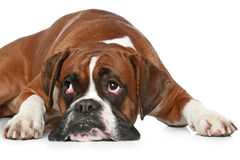 Boxer dog sad, lying on a white Stock Photos