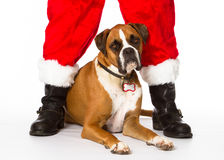 Boxer Dog with Santa. Boxer dog helping with Santa Claus royalty free stock image