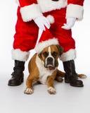Boxer Dog with Santa. Boxer dog helping with Santa Claus royalty free stock photography