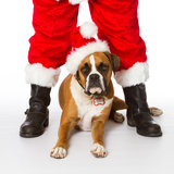 Boxer Dog with Santa. Boxer dog helping Santa Claus royalty free stock images