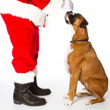 Boxer Dog with Santa Stock Photo