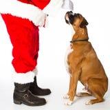 Boxer Dog with Santa. Boxer dog sitting for Santa Claus stock photo