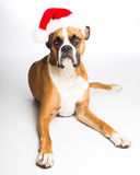 Boxer Dog in Santa Hat. Boxer dog laying down wearing a Santa hat Royalty Free Stock Images