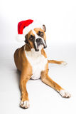Boxer Dog in Santa Hat. Boxer dog laying down wearing a Santa hat royalty free stock image